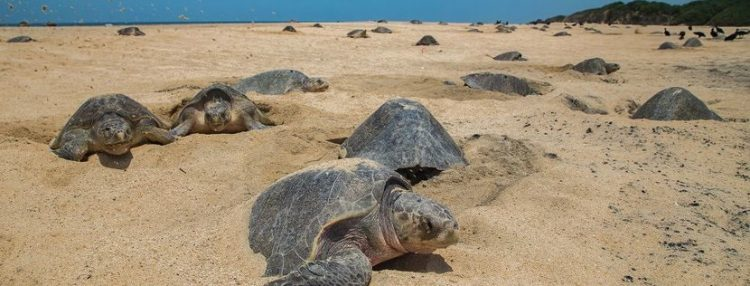 Lock down deserted beaches helped Olive Ridley Sea Turtles nest in peace